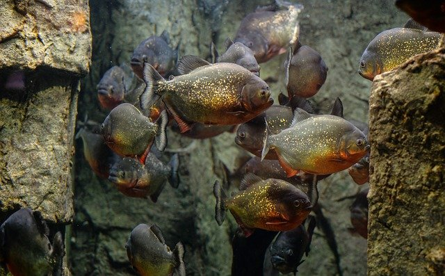 Piranhas - What Can Kill You in Brazil?