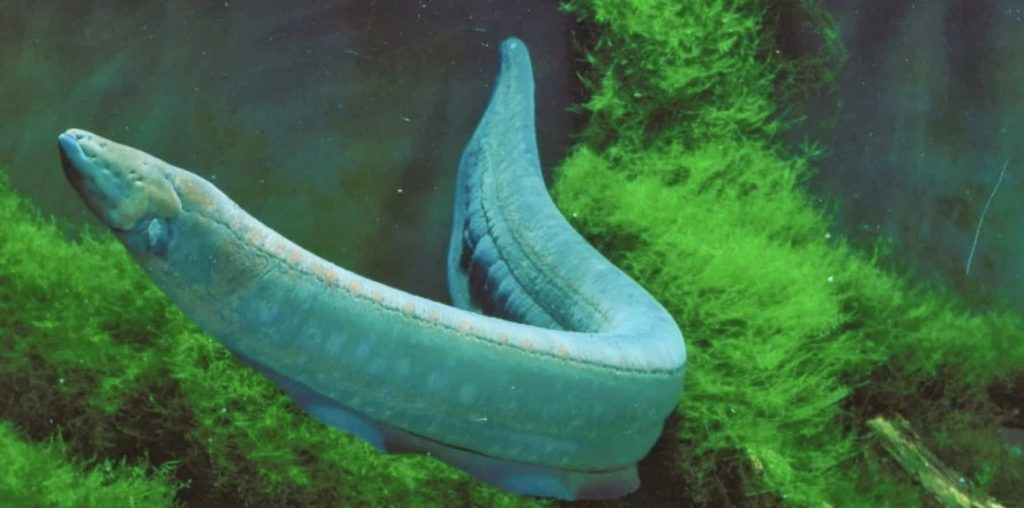 What Can Kill You In The Amazon River? Electric Eel.