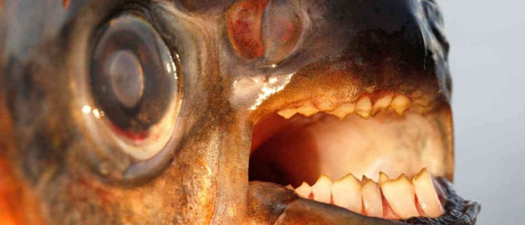 What Can Kill You In The Amazon River? Pacu Fish.