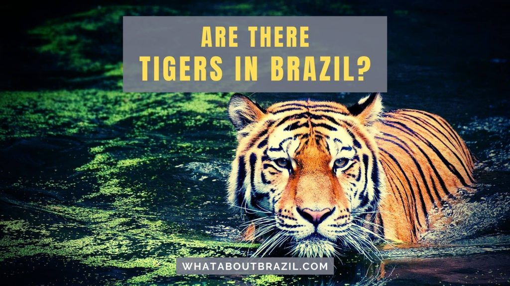 Are There Tigers in Brazil?